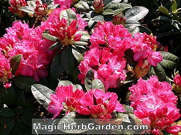 Rhododendron (Anna H. Hall Rhododendron)