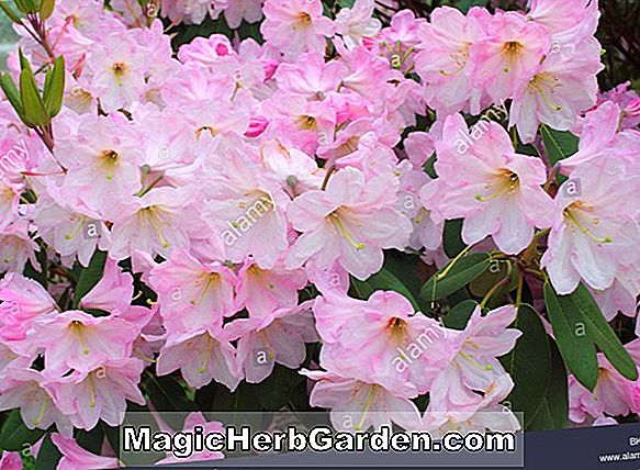 Rhododendron atlanticum (Tower Beauty Gent Hybrid Azalea) - #2