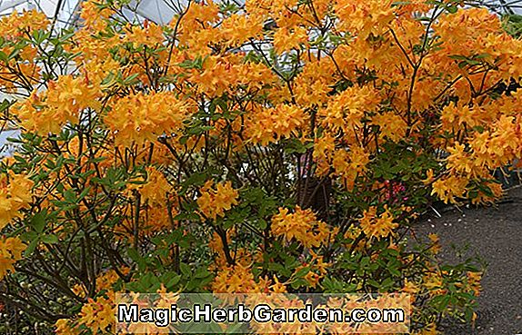 Rhododendron austrinum (Adams Orange Florida Azalea)