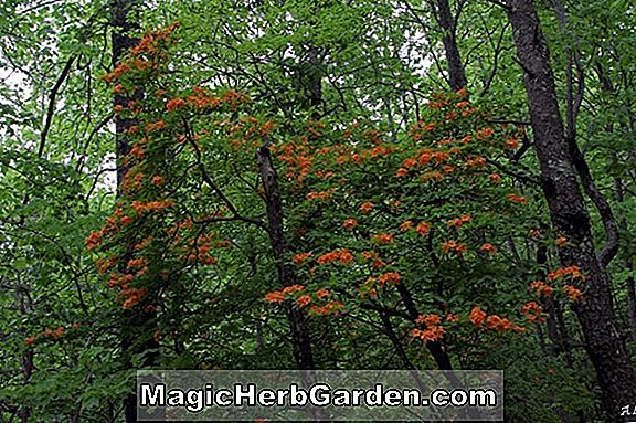 Rhododendron calendulaceum (Soquee River Flame Azalea)