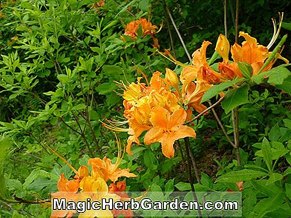 Rhododendron calendulaceum (Smaley Mountaineer Flame Azalea) - #2