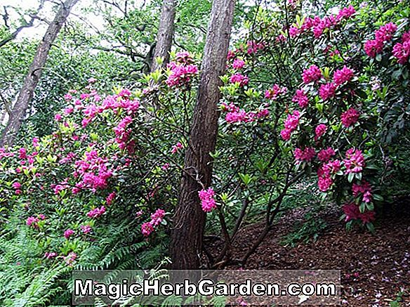 Rhododendron catawbiense (Cynthia Catawba Rhododendron)