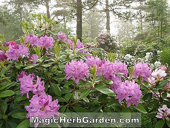 Rhododendron catawbiense (Lavendel Queen Catawba Rhododendron)
