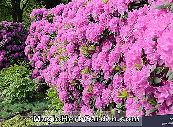 Planter: Rhododendron catawbiense (Mountain Rosebay)