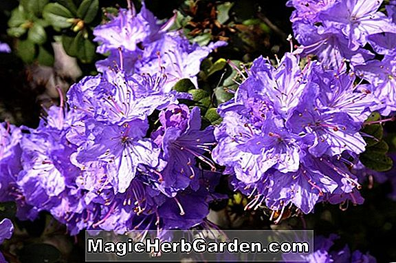 Rhododendron catawbiense (Blue Jay Catawba Rhododendron)