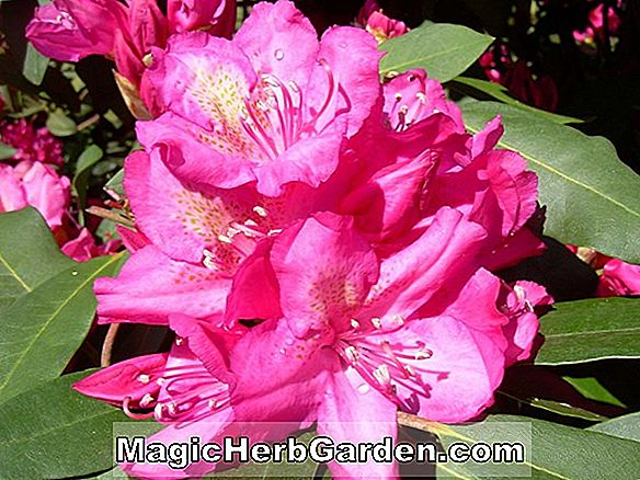 Rhododendron catawbiense (Edward S. Rand Catawba Rhododendron)