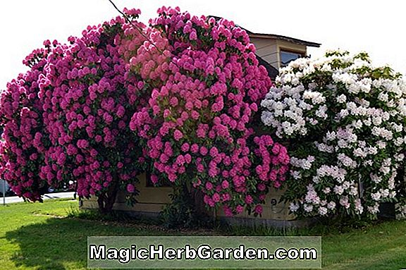 Rhododendron catawbiense (Fru Lady de Rothschild Catawba Rhododendron)