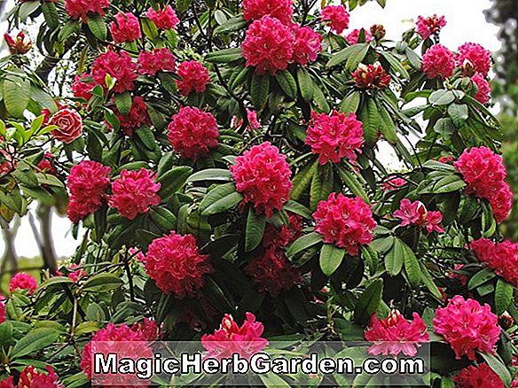 Rhododendron fortunei (Betty Arrington Fortunei Rhododendron)