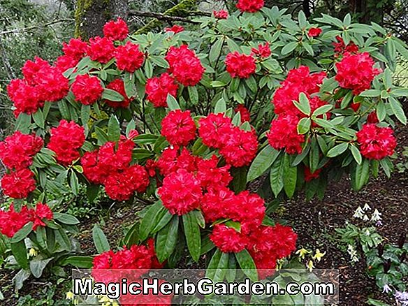Rhododendron (Henry's Red P.J.M. Rhododendron) - #2