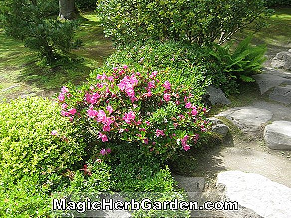 Planter: Rhododendron hybrida (April Showers Satsuki Azalea)