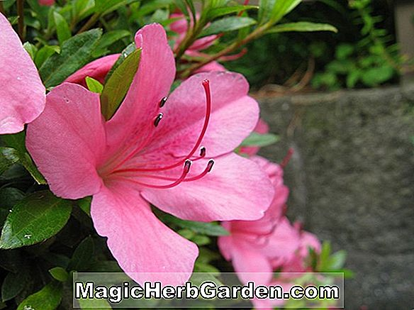 Rhododendron indica hyrids (Chimes Belgian Indian Hybrid Azalea)