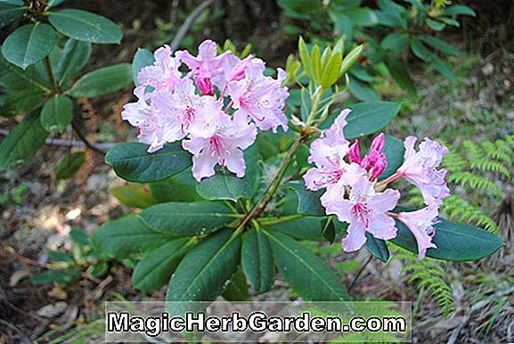 Rhododendron (Jeanne A. Koster Mollis Hybride Azalee)
