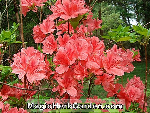 Rhododendron kaempferi (Orange King Torch Azalea)