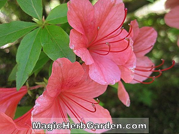 Rhododendron kaempferi (Mary King Torch Azalea)