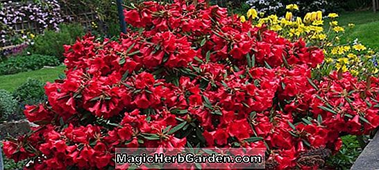Rhododendron (Low Red Frilled P.J.M. Rhododendron)