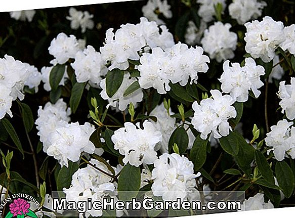 Rhododendron (Molly Fordham P.J.M. Rhododendron)