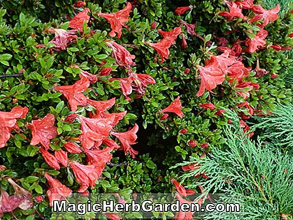Rhododendron nakaharai (Red Fountain North Tisbury Hybrid Azalea)
