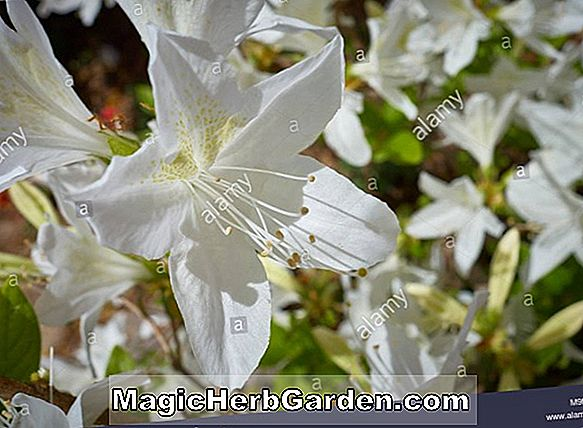 Rhododendron occidentale (Lackamas Bouquet Western Azalea)