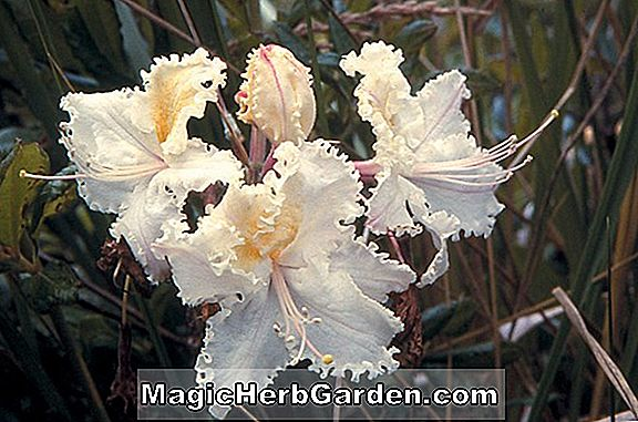 Rhododendron occidentale (Summer Tan Western Azalea)