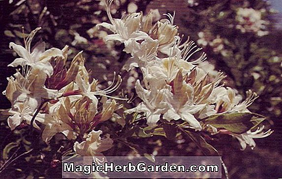 Rhododendron occidentale (Exquisita Western Azalea) - #2