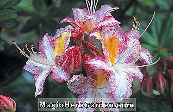 Rhododendron occidentale (Honeydew Western Azalea)