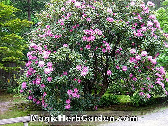 Rhododendron PJM (Rhododendron)