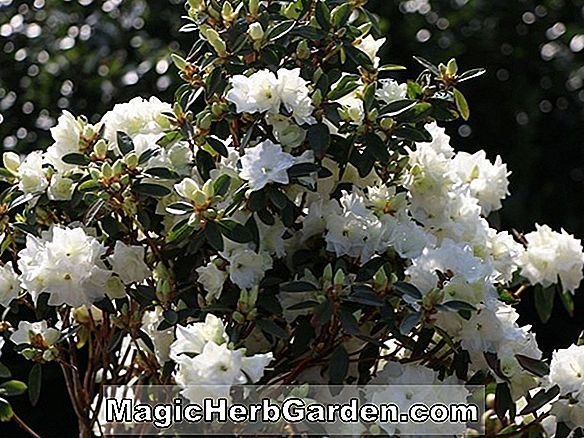 Rhododendron (Victor P.J.M. Rhododendron)
