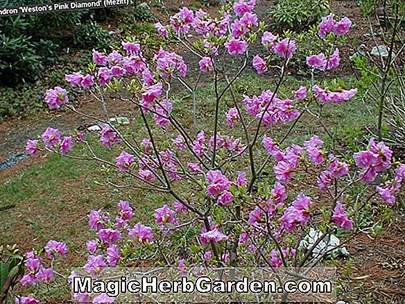 Rhododendron ('Weston's Pink Diamond' P.J.M. Rhododendron)