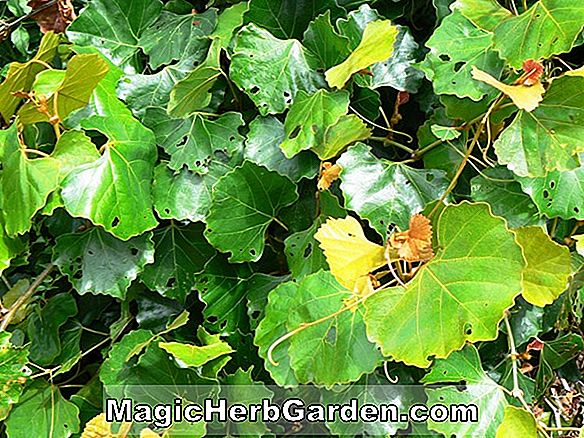 Planter: Vitis capensis (Cape Grape)
