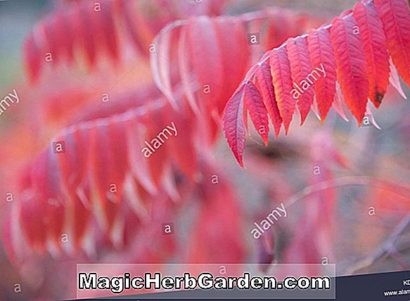 Rhus glabra ('Red Autumn Lace' Smooth Sumac)
