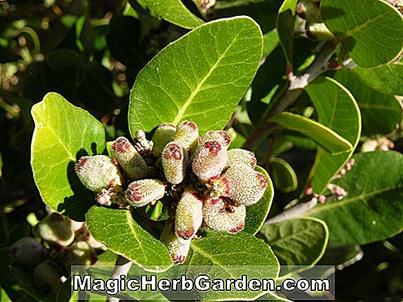 Rhus integrifolia (Lemonade Berry)