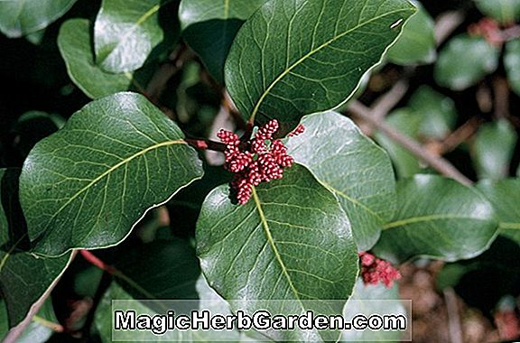 Rhus ovata (Sugar Bush)