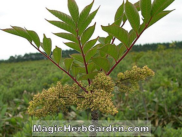 Rhus trichocarpa (Bristly Fruit Sumach)