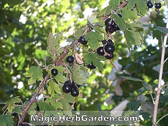 Planter: Ribes odoratum (Buffalo Currant)