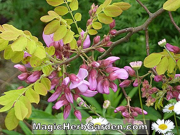 Robinia hispida (Brustly Locust)