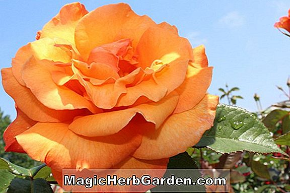 Rosa (Doris Tysterman Rose) - #2