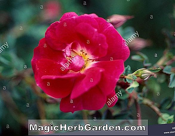 Rosa (Dorthy Perkins Rose)