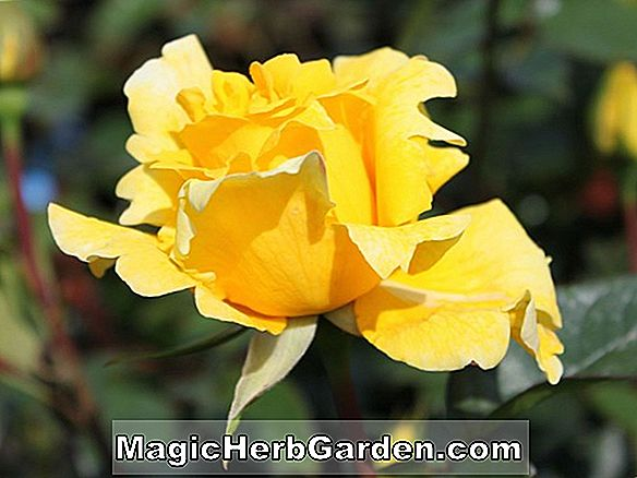 Planter: Rosa (Duftgold Rose)
