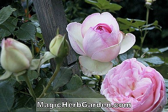 Planter: Rosa (Edith Clark Rose)