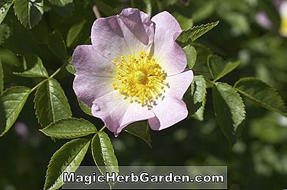 Rosa (Europeana Rose)