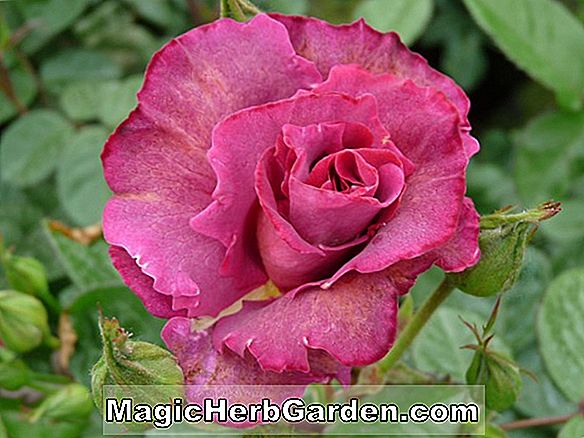 Planter: Rosa (Fortune Cookie Rose)