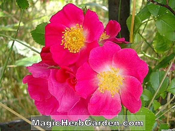 Rosa (duftende Delight Rose)