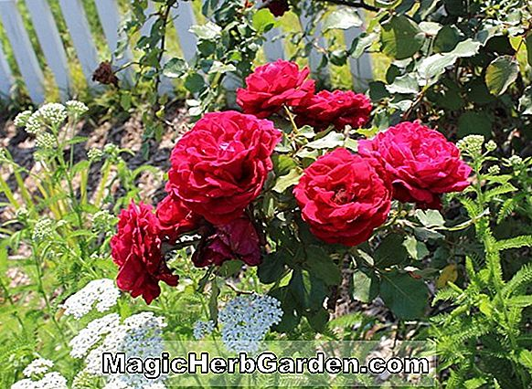 Planter: Rosa (Garden Glory Rose)