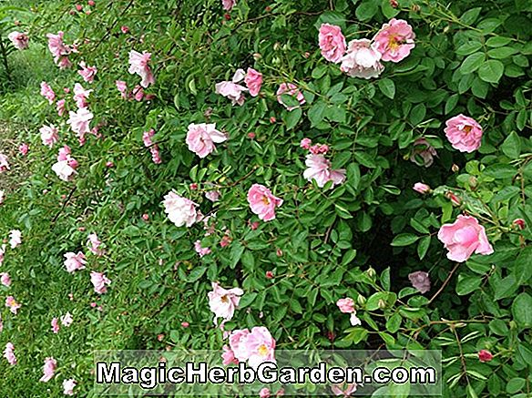 Plantes: Rosa (Great Venture Rose) - #2