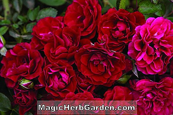 Planter: Rosa (Green Fire Rose)