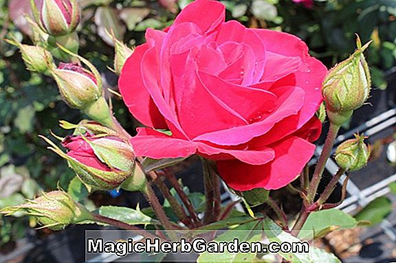 Planter: Rosa (Haidee Rose) - #2
