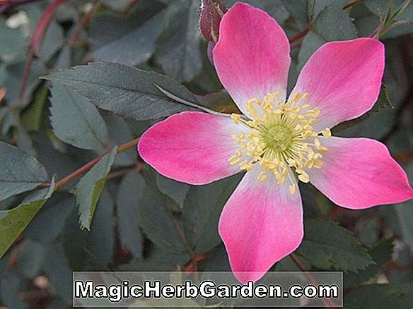 Pflanzen: Rosa (Hampshire Rose)