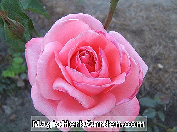 Planter: Rosa (High Flyer Rose)