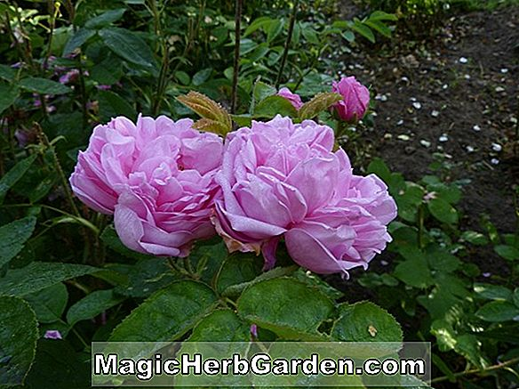 Rosa (Kathleen Harrop Rose)