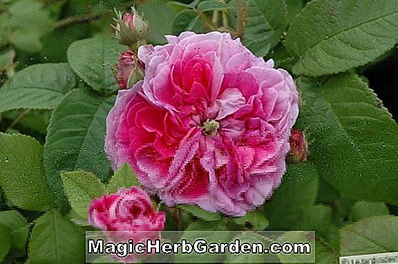 Planter: Rosa (Lambada Rose)